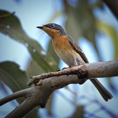 ♀ leaden flycatcher (Fat Burns ☮) Tags: bird nature fauna feathers flycatcher australianbird smallbird australianfauna myiagrarubecula leadenflycatcher oxleycreekcommon nikond750 sigma150600mmf563dgoshsmsports