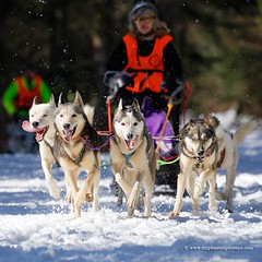 Sled dog race (My Planet Experience) Tags: winter dog snow animal alaska race husky samoyed ak running racing malamute yukon greenland siberian musher mushing sled sleigh eskimo pulk sledge snowdog yt pulka groenland samoyede wwwmyplanetexperiencecom myplanetexperience