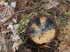 Stump (Nosuba 13) Tags: nature forest three soil quotes trunk environment cutdown