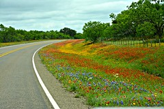 Roadside beauty. (The Old Texan) Tags: texas wildflowers roadsidebeauty