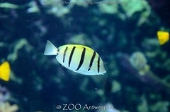 Gebande doktersvis - Acanthurus triostegus - Convict Tang (MrTDiddy) Tags: fish zoo antwerp convict vis antwerpen zooantwerpen tang dokter surgeon acanthurus dokters triostegus doktersvis gebande