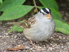 White-crowned Sparrow (Zonotrichia leucophrys) (ekroc101) Tags: birds vancouver bc coalharbour whitecrownedsparrow zonotrichialeucophrys