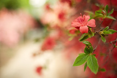 The azaleas in the Naka-in Temple (chibitomu) Tags: red nature japan canon temple  azalea saitama nakain   kawagoeshi   5dmarkiii canonef35mmf2is chibitomu