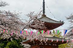 Kitain () (AnotherSaru - Limited mode) Tags: japan temple japanese spring gathering  sakura cherryblossoms kawagoe hanami  blooming saitamaken  2016  kitain   saitamaprefecture kawagoeshi