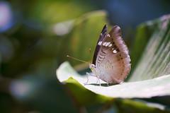 DSC_6841 (Photo-LB) Tags: macro nature nikon bokeh vietnam papillon 70200 proxy alme