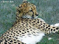 Monarto Zoo - Cheetah (samcol6) Tags: nature animals lumix zoo sam south australia panasonic cheetah col 2016 monarto fz150 samcol6