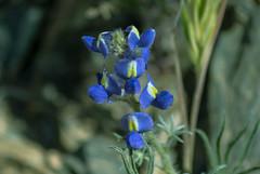 Coulter's Lupine (Lupinus sparsiflorus) (Carl Cohen_Pics) Tags: arizona nature spring wildflower cavecreek lupinussparsiflorus spurcrossranch coulterslupine