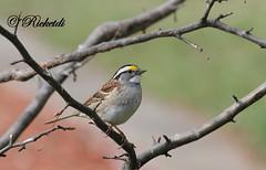 """ Bruant  gorge blanche "" (ricketdi) Tags: bird whitethroatedsparrow zonotrichiaalbicollis bruant bruantagorgeblanche"