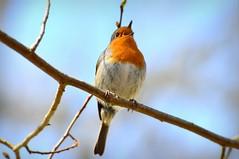 Robin singing (Ersin Demir) Tags: bird nature robin birds animal spring erithacusrubecula sweden stockholm bokeh outdoor wildlife europeanrobin ku fgel rdhake birdsinging blackeberg nikon70300mm naturewatcher kzlgerdan nikond5100