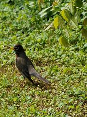 P4272077.jpg (MizGingerSnaps) Tags: usa birds virginia spring robins april williamsburg 2016 robinsnest intheyard