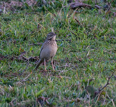 Blyth's Pipit (ijw20032000) Tags: october scilly 2015