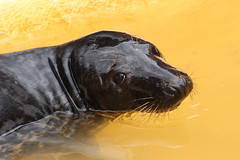 Seal (NTG's pictures) Tags: wildlife centre lincolnshire seal sanctuary the greyseal mablethorpe commonseal