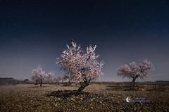 Almond Trees in Spring (Gabriel Glez.) Tags: longexposure nightphotography trees night noche blossom paisaje luna almondblossom almendros almondtree nighttrees paisajenocturno almendrosenflor largaexposicin gabrielglez noctografia