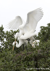 Someone's Always Looking (wesjr50) Tags: nature birds animals st canon is farm wildlife flash great alligator ii 7d l usm augustine egret better ef 100400mm mk wading rookery nests f4556 beame