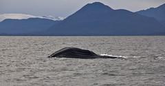 Born Free! (johnshlau) Tags: sea wild nature alaska boat wildlife free juneau whale humpback habitat insidepassage humpbackwhale whalewatching ecological bornfree naturalhabitat naturalenvironment inthewild ecologicalenvironment excursiontour