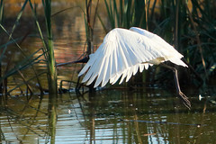 Royal Spoonbill (NathanaelBC) Tags: lake bird water pond native australian canberra cbr