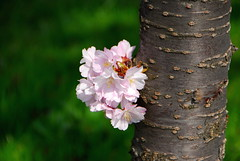Spring (petrk747) Tags: flower tree nature garden spring flora bark trunk april flowerhead nikond200