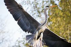 Graureiher (p.niebergall) Tags: bird flight fisch mnster bif flug aasee reiher graureiher