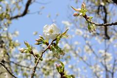 usugasaneooshima_dsc_3080 (takao-bw) Tags: plant flower japan spring sakura cherryblossoms