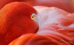 Flamingo (Paula Darwinkel) Tags: pink summer orange bird eye nature animal wildlife flamingo sunny