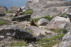 "Yellow-bellied Marmot • <a style=""font-size:0.8em;"" href=""http://www.flickr.com/photos/63501323@N07/26420362176/"" target=""_blank"">View on Flickr</a>"