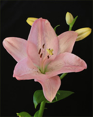 Pink Bits. (Flair Photography Brisbane) Tags: pink stilllife flower lily