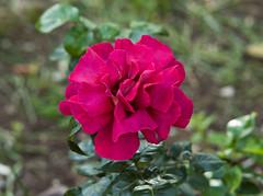 (Gioporc) Tags: primavera grande rosa natura campagna fiori sole giovanni molfetta porcelli gioporc