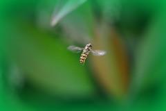 Episyrphus Balteatus nano (ironmember) Tags: macro bokeh small 85mm ali volo piccolo insetto pdc diptera sfocato micronikkor d90 episyrphusbalteatus allaperto dittero profonditdicampo involo manolibera luceambiente nelverde sfondoverde innocuo