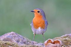 Pettirosso (Mascamit) Tags: robin erithacusrubecula natura uccelli viterbo lazio uccello pettirosso bassanoromano
