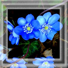 ~~ Blue japanese Anemone_hupehensis ~~ (Rosa Dik 009 -- catching up !) Tags: light macro colors composition anemone frame quintaflower spring2016