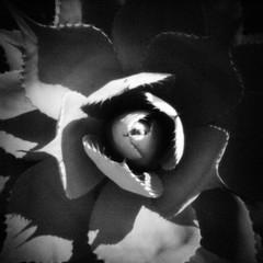 Agave (rustman) Tags: blackandwhite bw square iso3200 grain 11 pinhole worldwidepinholephotographyday 22mm gf1 f128 dynamicblackandwhite panasoniclumixgf1 pinwide wanderlustpinwide