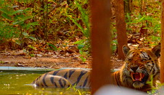 Wagdoh Male (S u m a n G o s w a m i) Tags: nikon tiger nikond7000