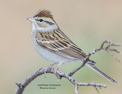 CHIPPING SPARROW 2  1189-109 (HARRIS BROWN 427) Tags: bird photography nikon pert sparrow avian naturephotography chippingsparrow birdphotography wildlifephotography 500mmf4 avianphotography pennypacktrust fieldbird nikond7200 harrisbrown
