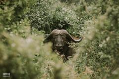 _N6A2087 (Kappas valokuvaamo) Tags: africa park wild game nature animal animals landscape drive kenya wildlife east safari national kenia tsavo afrikka caffer syncerus puhveli kafferipuhveli afrikanpuhveli