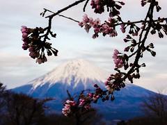 Fuji I (Douguerreotype) Tags: pink mountain lake tree japan cherry landscape volcano fuji blossom bokeh mountfuji cherryblossom sakura fujisan buds