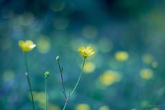 Come in una favola (ambrasimonetti) Tags: yellow 1st bokeh earth may ranunculus fairy ranuncolo ascolipiceno 2016