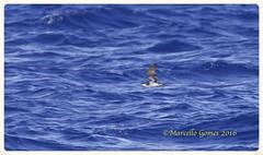 Audubon's Shearwater(Puffinus lherminieri) AUSH - Audubon Society of the Everglades Pelagic Trip in the Atlantic Ocean, Palm Beach County, FL. (brazman2012) Tags: birds shearwater audubonsociety birdinflight pelagictrip pardela aush audubonsshearwater puffinuslherminieri atlanticseabirds mcsg65 brazman2012 audubonsocietyoftheeverglades pardeladeasalarga