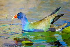 Purple Gallinule (Solinka Photography) Tags: blue bird florida wildlife everglades purplegallinule