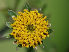 Bidens pilosa L. (carlos mancilla) Tags: flowers flores raynoxdcr250 olympussp570uz bidenspilosal