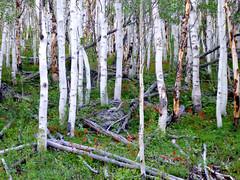 P1000584 (1).jpg (Upstate Dave) Tags: aspen fitzpatrickwilderness flowers indianpaintbrush majorplaces shoshonenationalforest trees wildflowers windriverrange yellowstone 2013