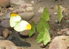 Anteos menippe, Orangetip Angled-Sulphur; Marpesia crethon, Crethon Daggerwing (Birdernaturalist) Tags: peru butterfly wings nymphalidae pieridae coliadinae richhoyer