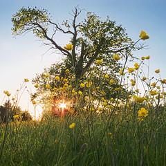 Amongst the buttercups (::Random-Nonsense::) Tags: park sunset orange sun house tree grass silhouette landscape countryside flora nikon buttercup dusk meadow lensflare end essex saffronwalden audley randomnonsense p7100 bydavehydephotography