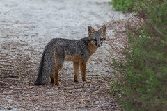 Gray Fox (BillChenSF) Tags: santa clara grey gray fox ulistac