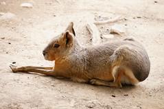 DSC03152.jpg (joe.spandrusyszyn) Tags: nature animal mammal rodent pennsylvania unitedstatesofamerica mara erie rodentia vertebrate eriezoo dolichotispatagonum patagonianmara dolichotis patagoniancavy caviidae byjoespandrusyszyn