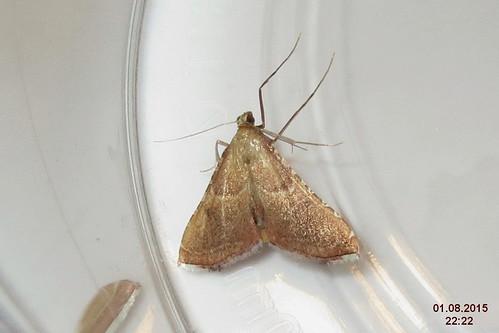 Endotricha flammealis (Spess.)