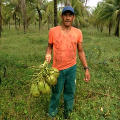 "coconuts ready to harvest_6 <a style=""margin-left:10px; font-size:0.8em;"" href=""http://www.flickr.com/photos/47172958@N02/24374994685/"" target=""_blank"">@flickr</a>"