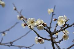 Blooming (kr0nk0) Tags: macro g sony fe 90mm f28 oss sel90m28g