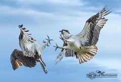 DSC_3910s (mikeyasp) Tags: nature birds outdoors inflight everglades fighting aggressive raptors avian pandionhaliaetus ospreys talons confrontation