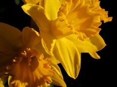 Necessities (Renee Rendler-Kaplan) Tags: flowers winter 2 two sunlight home yellow canon mine bright blossoms livingroom indoors handheld vase inside bouquet lit blooms february sunlit daffodils sturdy wbez velvety blooming necessities chicagoist 2016 lateafternoonlight chicagoreader daffydowndillies reneerendlerkaplan canonpowershotsx530hs bloomingopen