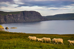 The march of the sheep, Isle of Skye (Poulomee Basu) Tags: sunset nature beauty landscape outdoors sheep isleofskye rich roadtrip adventure tranquil naturephotography scottishhighlands scoland landscapephotography sunsetcolours visitscotland thisisscotland